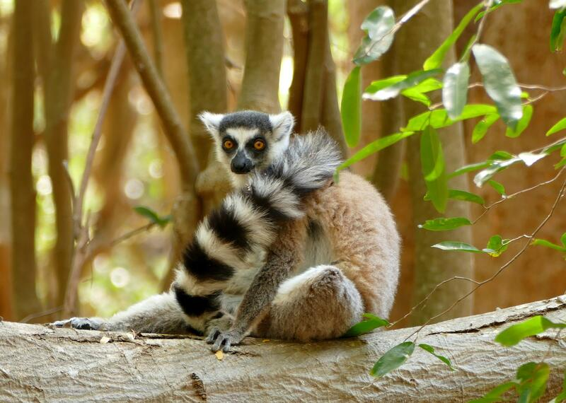 Ring tailed lemur in Madagascar