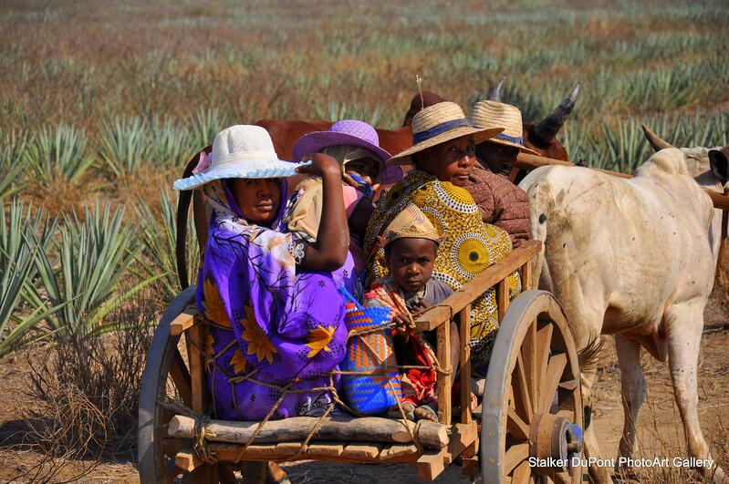 People in Madagascar riding on ox driven cart, global travel photography