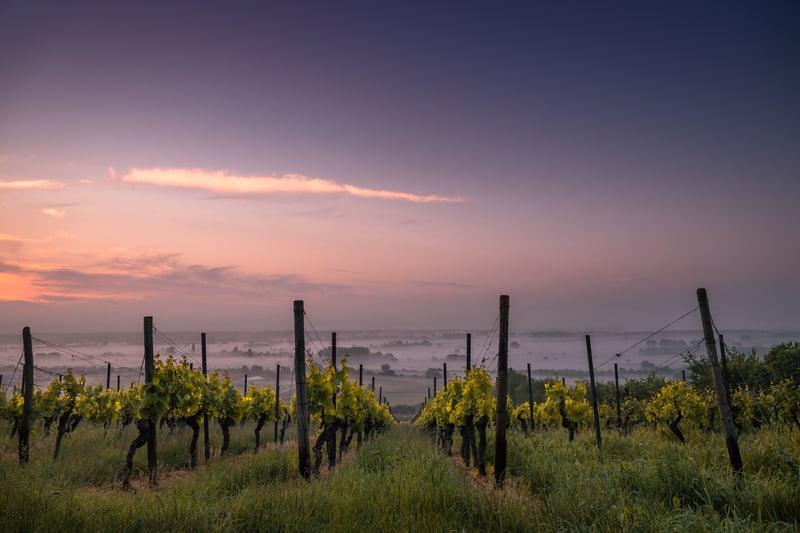 Rows of grape vines at vineyard at sunrise