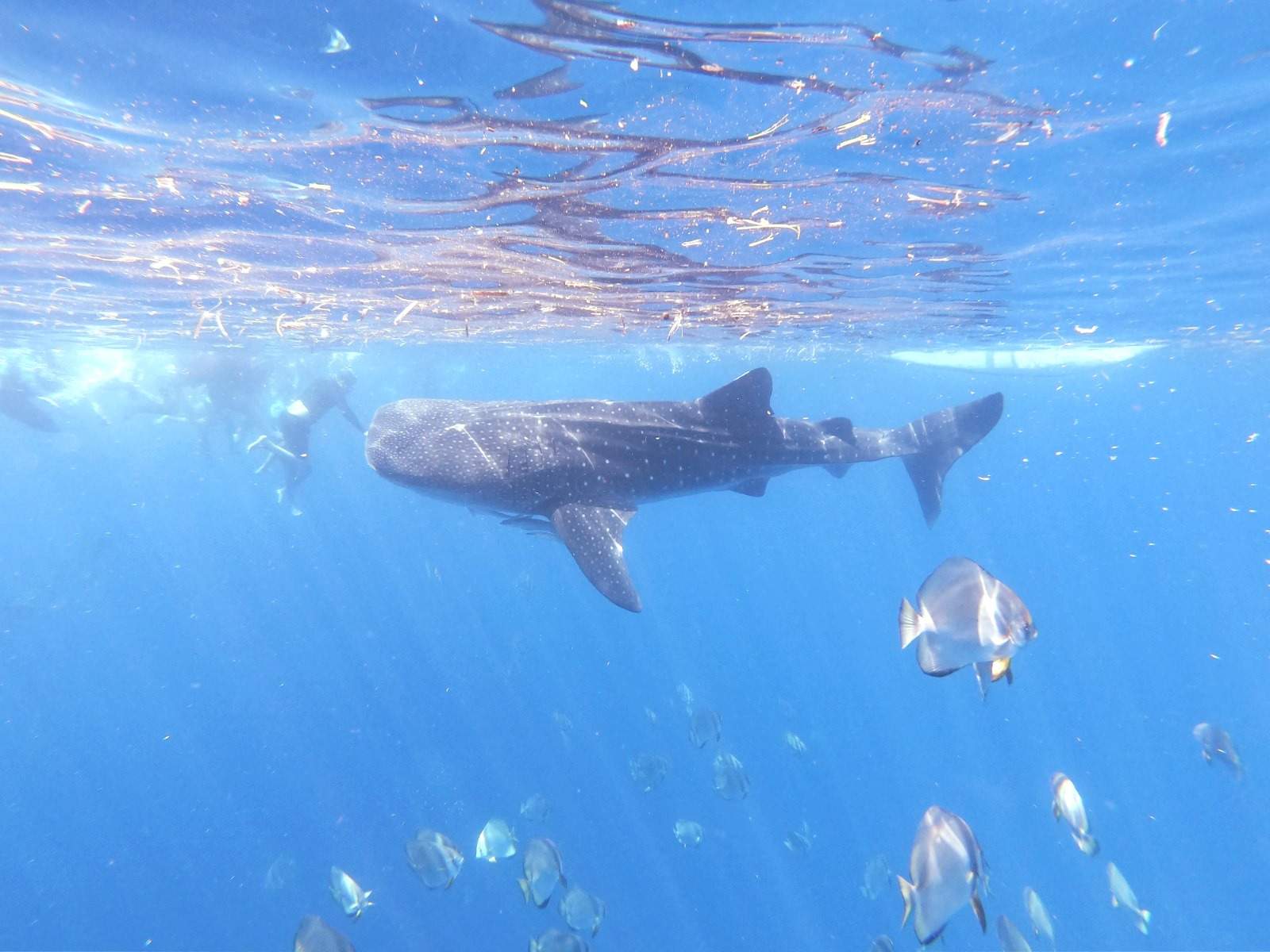 Whale shark diving and diver
