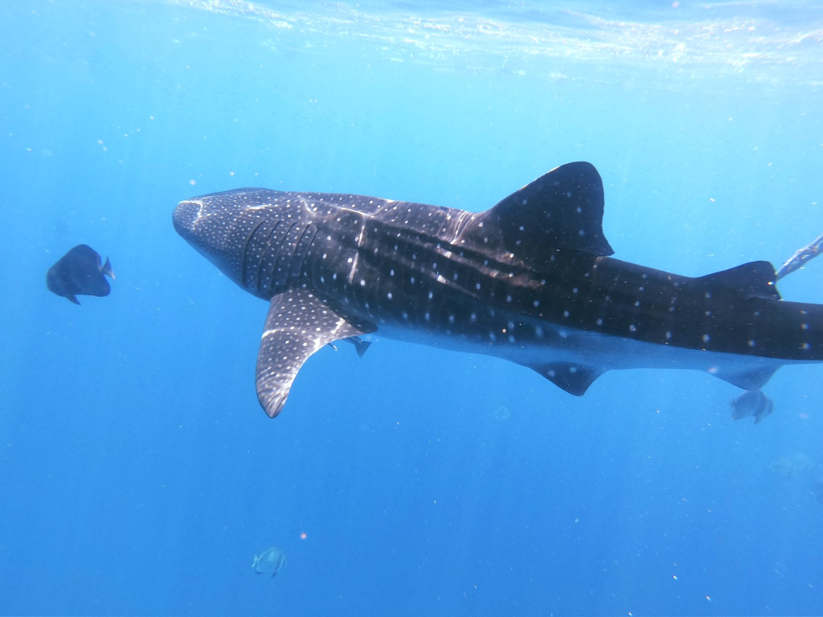 Whale sharks - Majestic Giants of the Oceans